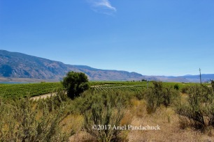 It's cool to see the vineyards and the desert meet!